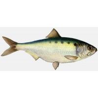 Рыбы  в Алматы